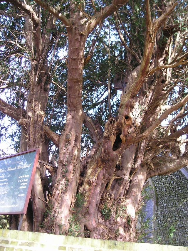 Yew 1: Female