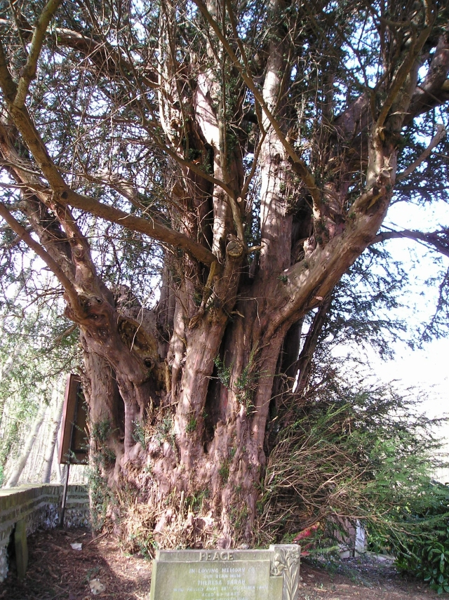 Yew 1: As seen looking west, in all its glory