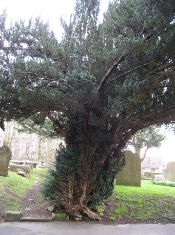 Yew 2: View facing east again
