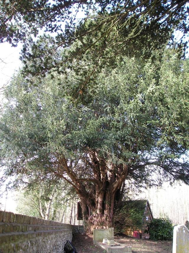 Yew 1: As seen looking west, displaying a pretty full canopy