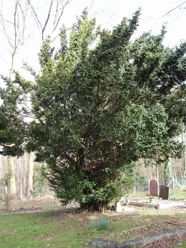 Yew 5: Male
